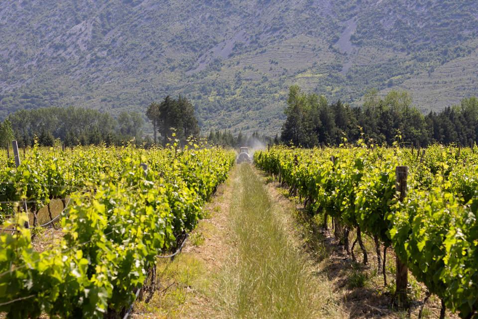 Vinogradi Popovo polje