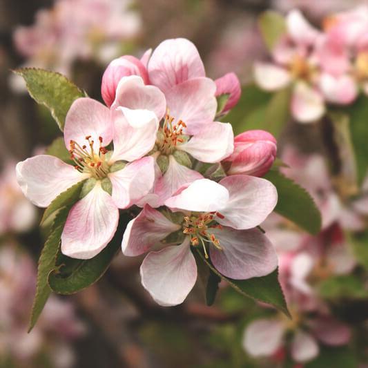 Cvijet jabuke Popovo polje